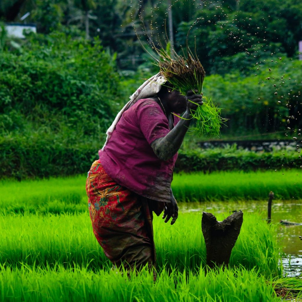 A rice field with a woman farming